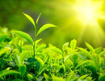 La stevia, una preziosa alternativa