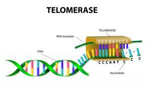 enzima telomerase