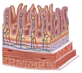 Intestino: villi intestinali